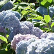Floral Garden Art Prints Blud Hydrangea Flowers Poster