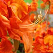Floral Garden Art Prints Orange Rhododendrons Baslee Troutman Poster