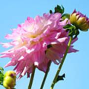 Floral Landscape Art Print Pink Dahlia Flower Blue Sky Canvas Baslee Troutman Poster