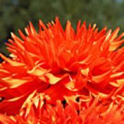 Floral Orange Dahlia Flowers Art Prints Poster