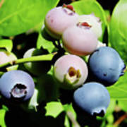Florida - Blueberries - On The Bush Poster