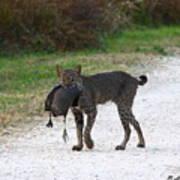 Florida Bobcat Catches An Evening Snack Poster by Barbara Bowen