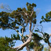 Florida Cedar Tree Poster
