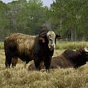 Florida Cracker Cows #4 Poster