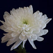 Florida Flowers - White Gerbera Ready For Full Bloom Poster