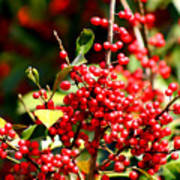 Florida Holly Berry's  Poster