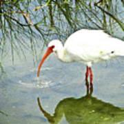 Florida Stork Poster