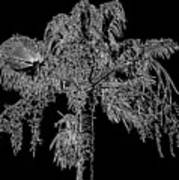 Florida Thatch Palm In Black And White Poster
