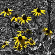 Flower Black Eyed Susan Poster