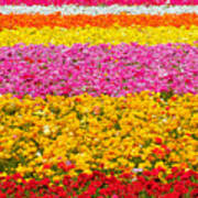 Flower Fields Carlsbad Ca Giant Ranunculus Poster by Christine Till
