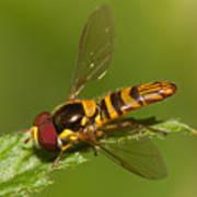 Flower Fly Allograpta Obliqua Poster