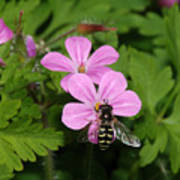 Flower Fly On Stinky Bob Poster