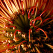 Flower Hawaiian Protea Poster