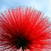 Flower Of Calliandra Haematocephala Poster