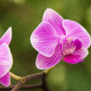 Flower - Pink Orchids Poster