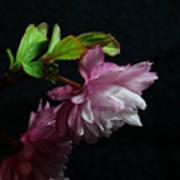 Flowering Almond 2011-15 Poster