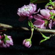 Flowering Almond 2011-16 Poster