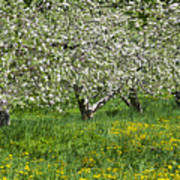Flowering Apple Orchard Poster