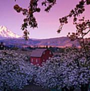 Flowering Apple Trees, Distant Barn Poster