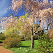 Flowering Cherry In Botanic Garden Poster