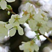 Flowering Cherry Tree 17 Poster