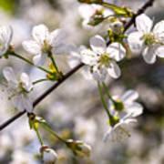 Flowering Cherry Tree Branch 4 Poster