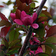 Flowering Crabapple Poster