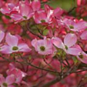 Flowering Dogwood Flowers 01 Poster