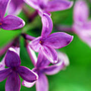 Flowering Lilac Poster