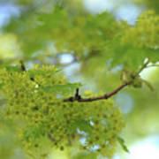 Flowering Maple Tree Poster