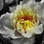 Flowering Peony In The Night Garden Poster