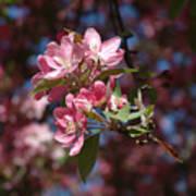 Flowering Pink Dogwood Poster