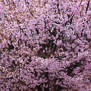 Flowering Pink In Spring Poster