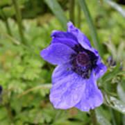 Flowering Purple Anemone Flower Blossom In A Garden Poster