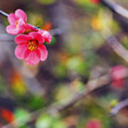 Flowering Quince In Spring Poster