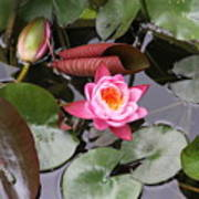 Flowering Water Lily Poster