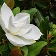 Flowering White Magnolia Blossom On A Magnolia Tree Poster