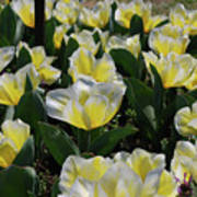 Flowering Yellow And White Tulips In A Spring Garden  Poster
