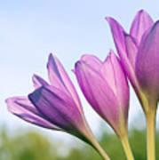 Flowers Crocuses Poster