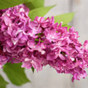 Flowers - Freshly Cut Lilacs Poster