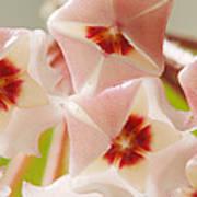 Flowers-hoya 1 Poster