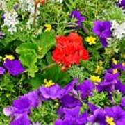 Flowers Of Bethany Beach - Petunias Poster