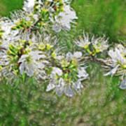 Flowers Of The Blackthorn Shrub Poster