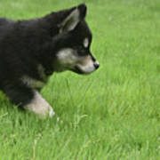 Fluffy Alusky Puppy Stalking In Green Grass Poster