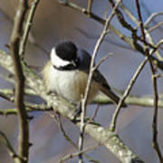 Fluffy Chickadee Poster
