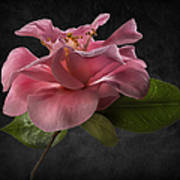Fluffy Pink Camellia 2 Poster
