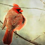 Fluffy Winter Cardinal Poster
