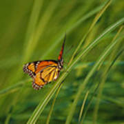Fluttering Through The Summer Grass Poster