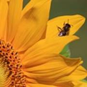 Fly On Sunflower Poster