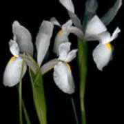 Flying Irises 2 Poster
